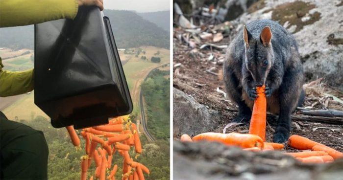 Des avions ont largué des carottes et des pommes de terre aux animaux affamés en Australie